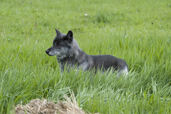 Stunning wolf sightings in BC